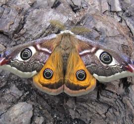 nachtpauwoog-vlinder-maleDSC00003b