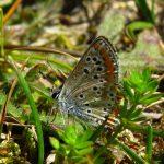 Aricia agestis, gevonden Ameland, 30 juli 2016, excursie VWGF. Foto: G.Bergsma