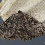 Charissa obscurata, gevonden Appelscha, 14 augustus 2016, P.Tengen. Foto: P.Tengen