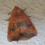 Athetmia centrago, gevonden 26 augustus te Giekerk, F.Nijland. Foto: F.Nijland
