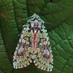 Griposia aprilina, gevonden St.Nicolaasga, 6 november, A.Saunders. Foto: A.Saunders