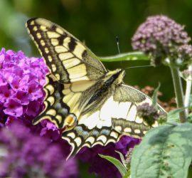 Papilio machaon, gevonden te Jubbega, 16 aug 2017, H.Hoornveld (Foto: H.Hoornveld)
