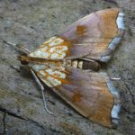 Haagbeukmot, gevonden 18 mei 2017, Schaopedobbe, G.Tuinstra (foto: G.Tuinstra)