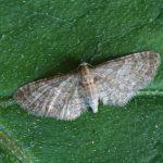 Eupithecia haworthiata, gevonden St. Nicolaasga, 15 juni 2017, A.Saunders (foto: A.Saunders)