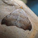 Bruine sikkeluil, gevonden 14 juni te Giekerk, F.Nijland (foto: F.Nijland)